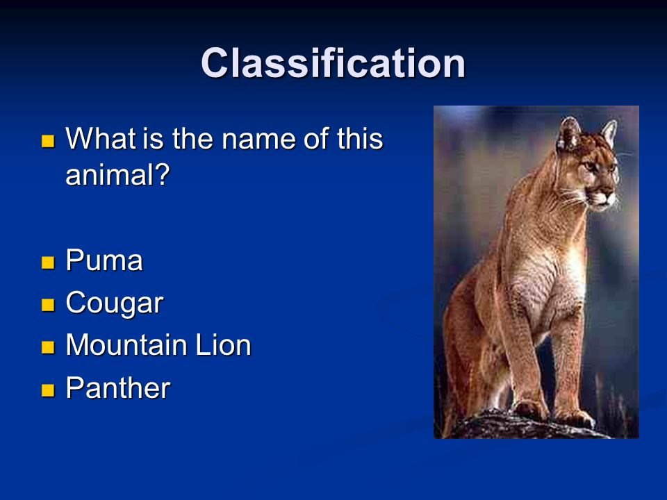 Classification What is the name of this animal Puma Cougar