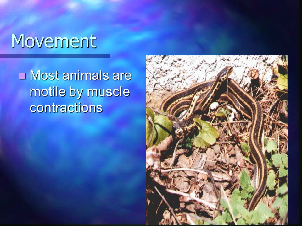 Movement Most animals are motile by muscle contractions