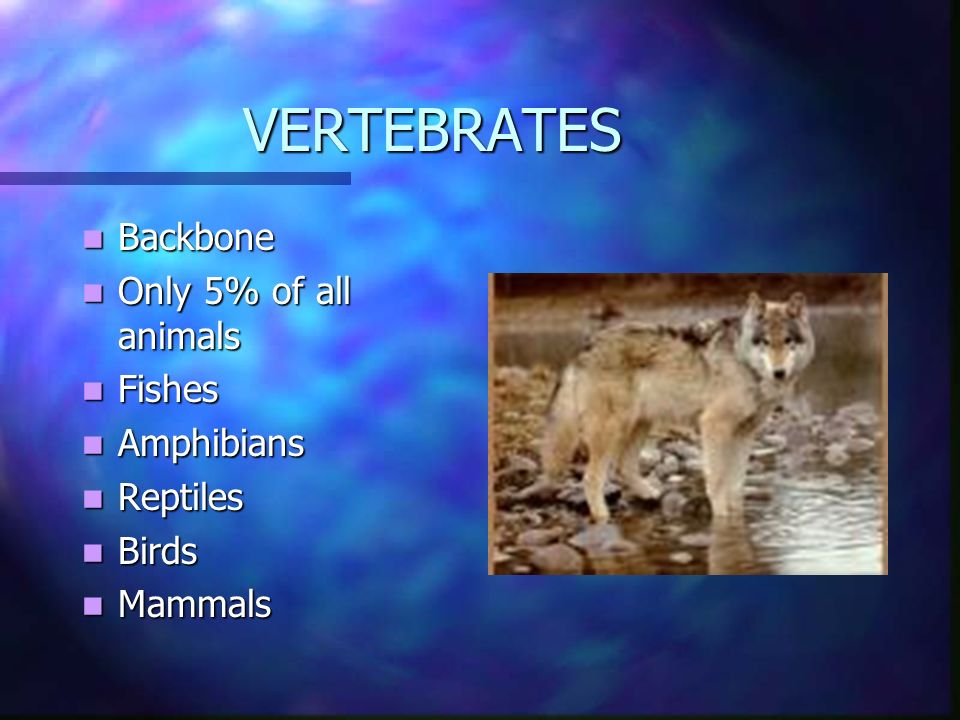 VERTEBRATES Backbone Only 5% of all animals Fishes Amphibians Reptiles