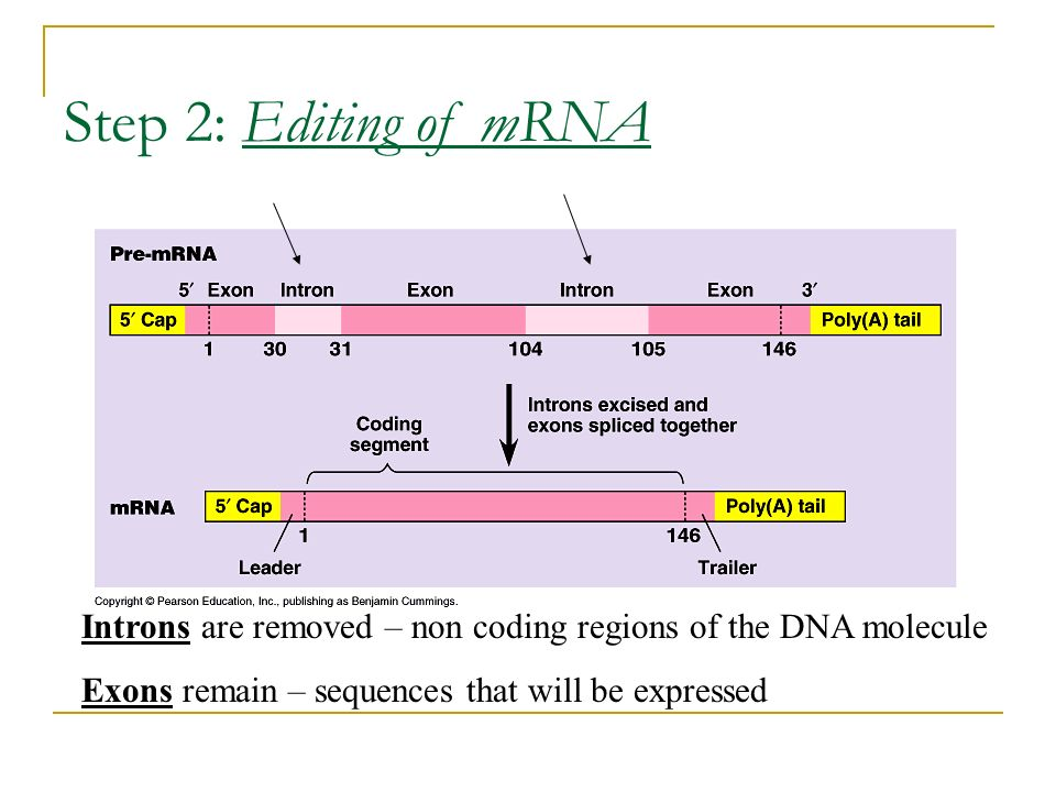 Step 2: Editing of mRNAIntrons are removed – non coding regions of the DNA molecule.