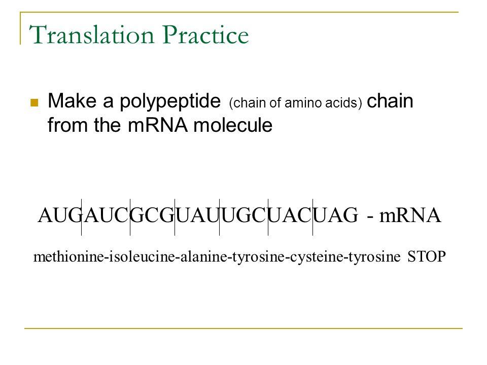 Translation Practice AUGAUCGCGUAUUGCUACUAG - mRNA