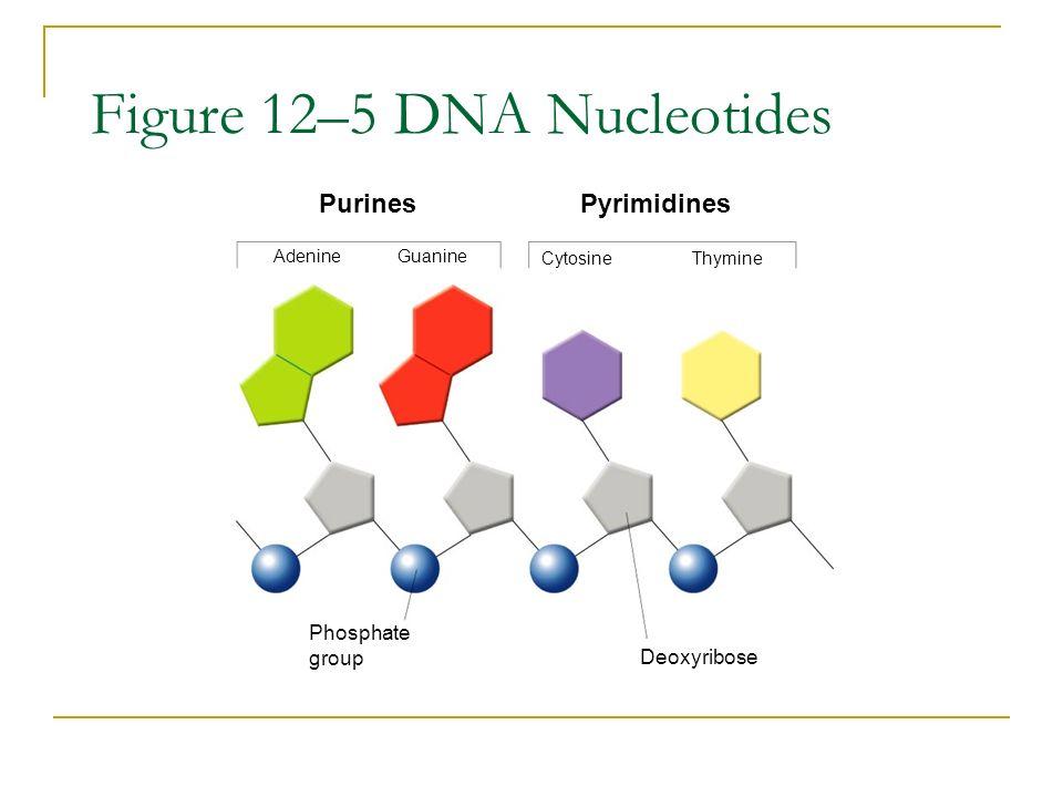 Figure 12–5 DNA Nucleotides