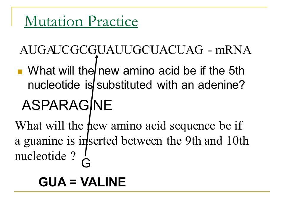 Mutation Practice ASPARAGINE AUGA CGCGUAUUGCUACUAG - mRNA U