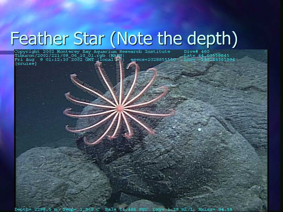 Feather Star (Note the depth)