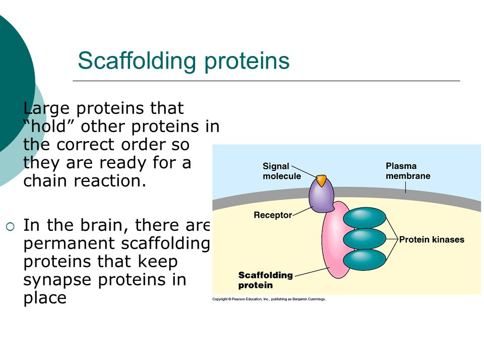 Scaffolding proteinsLarge proteins that hold other proteins in the correct order so they are ready for a chain reaction.