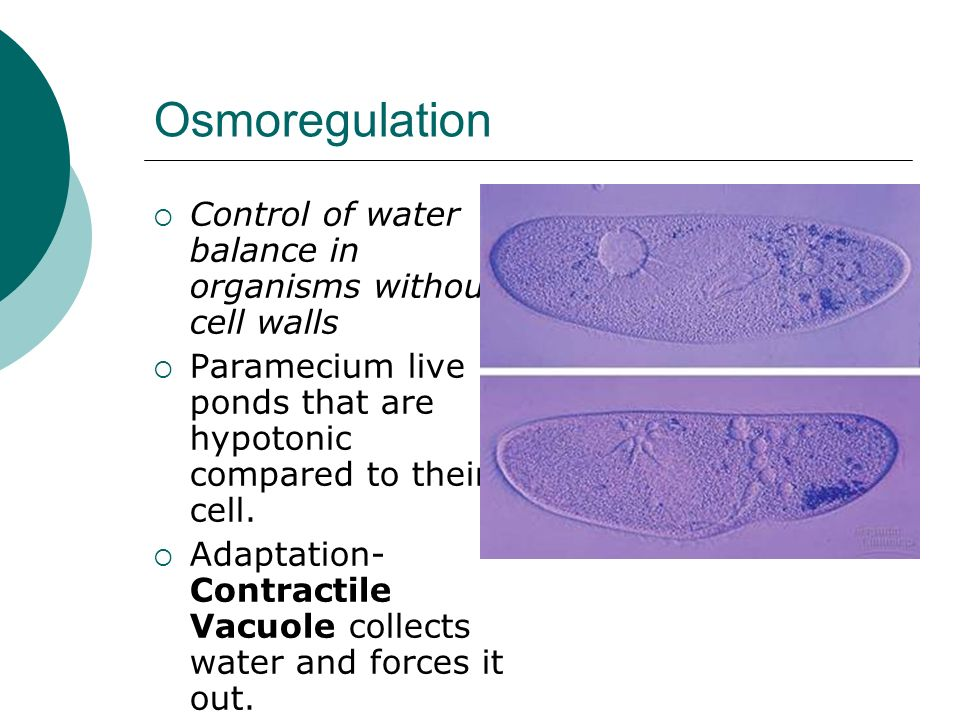 OsmoregulationControl of water balance in organisms without cell walls. Paramecium live in ponds that are hypotonic compared to their cell.