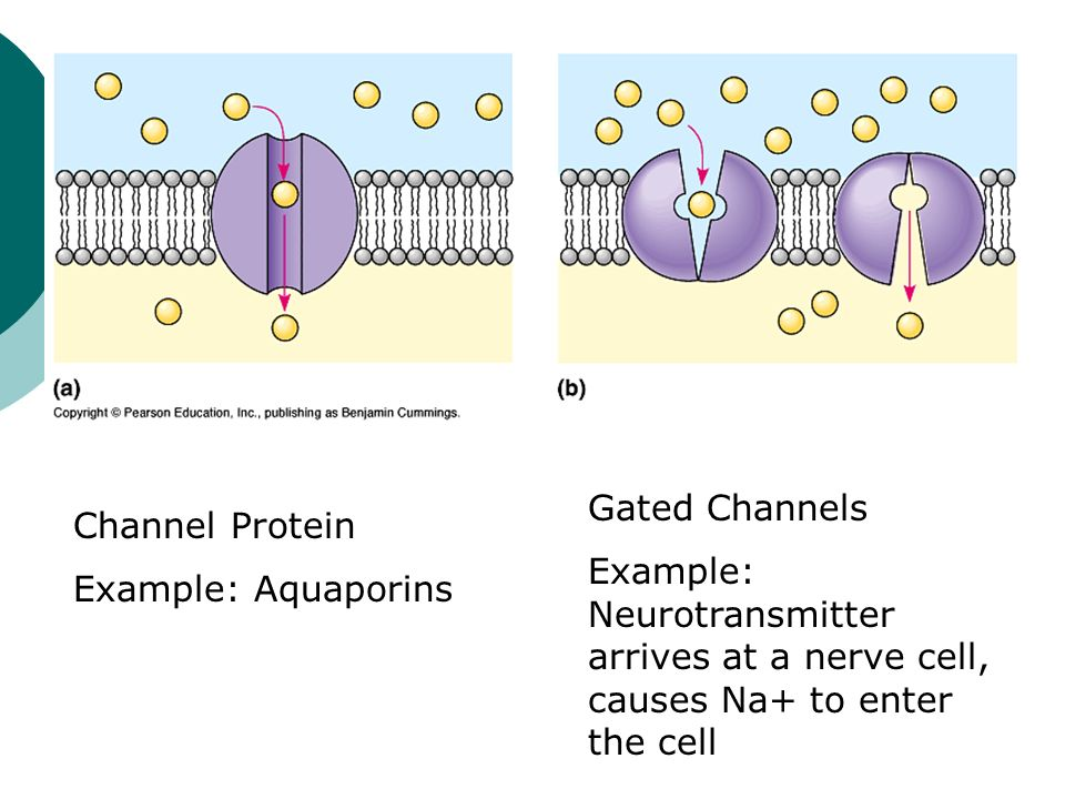 Gated Channels Example: Neurotransmitter arrives at a nerve cell, causes Na+ to enter the cell. Channel Protein.