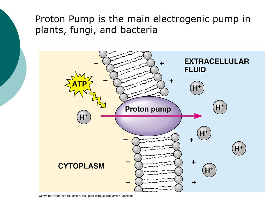Proton Pump is the main electrogenic pump in plants, fungi, and bacteria
