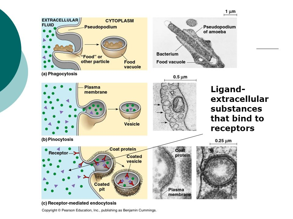 Ligand- extracellular substances that bind to receptors