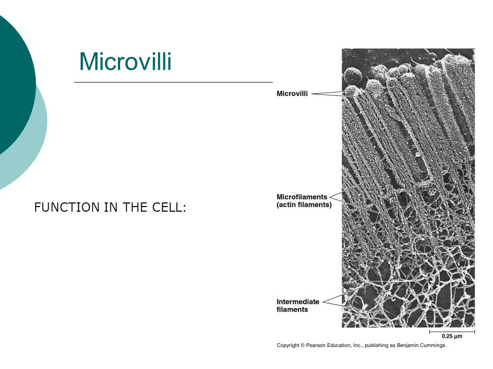 Microvilli FUNCTION IN THE CELL: