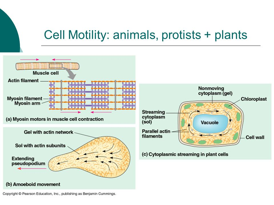 Cell Motility: animals, protists + plants