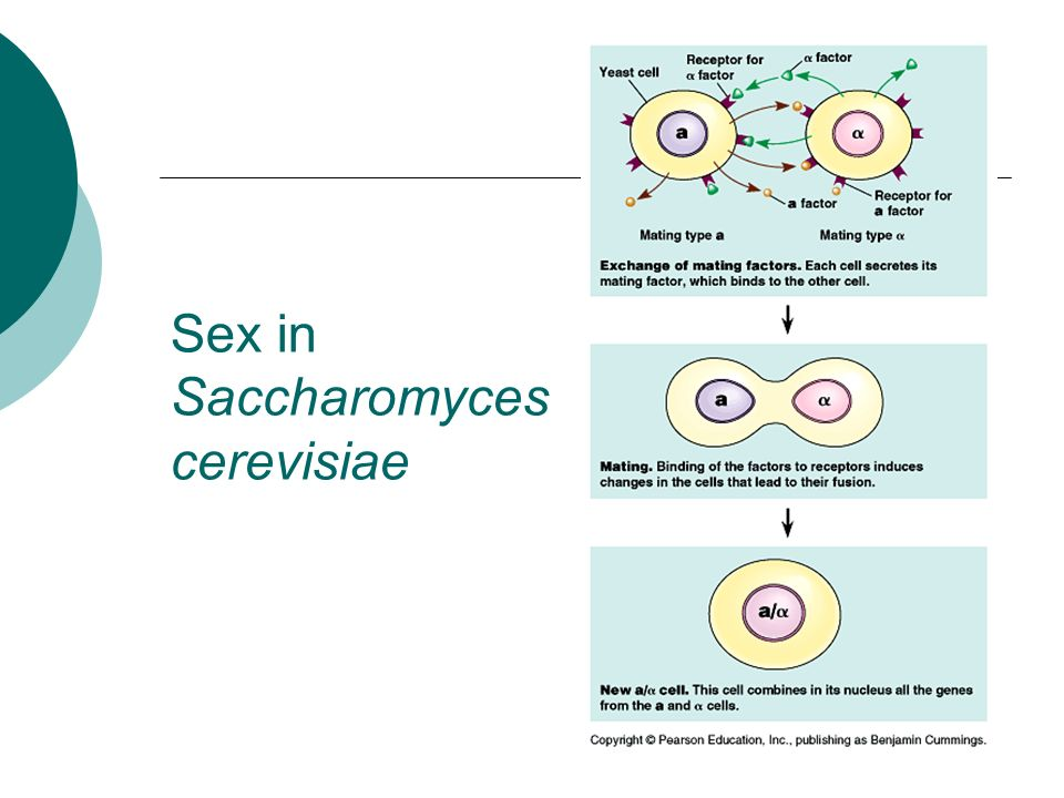 Sex in Saccharomyces cerevisiae