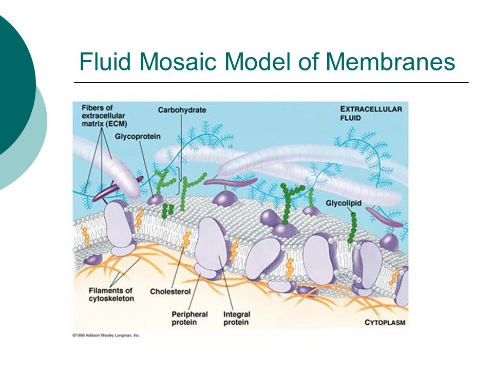 Fluid Mosaic Model of Membranes