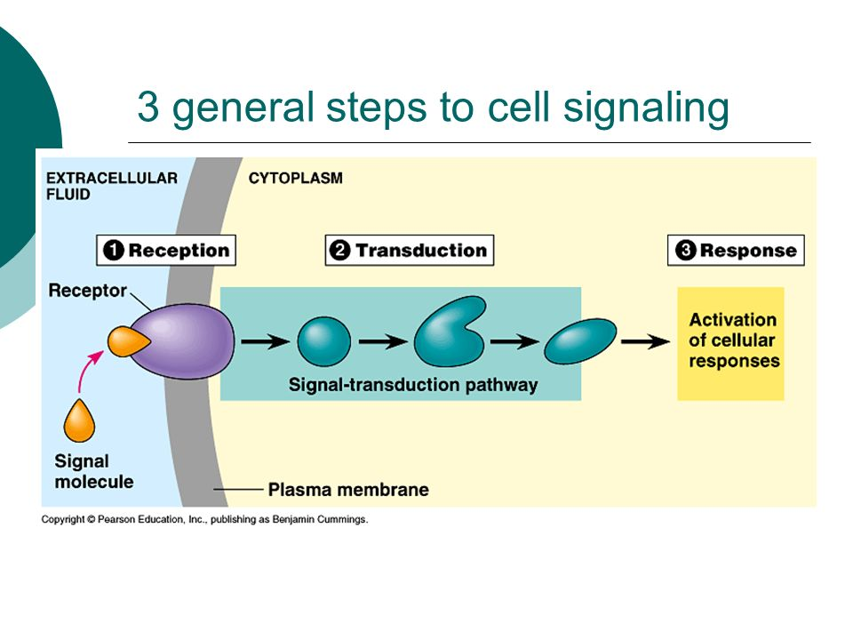 3 general steps to cell signaling