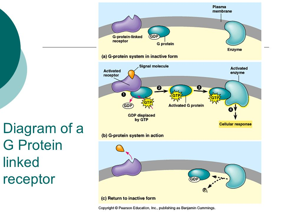 Diagram of a G Protein linked receptor