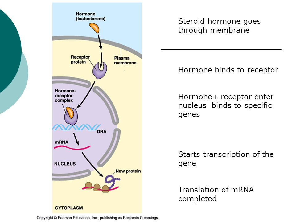 Steroid hormone goes through membrane