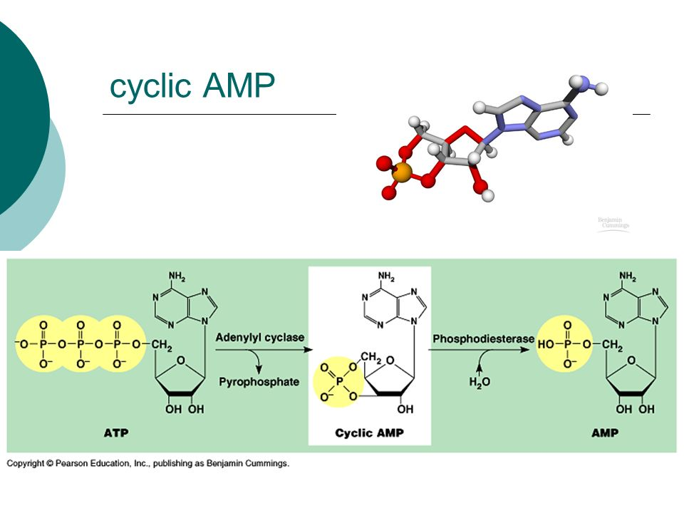 cyclic AMP