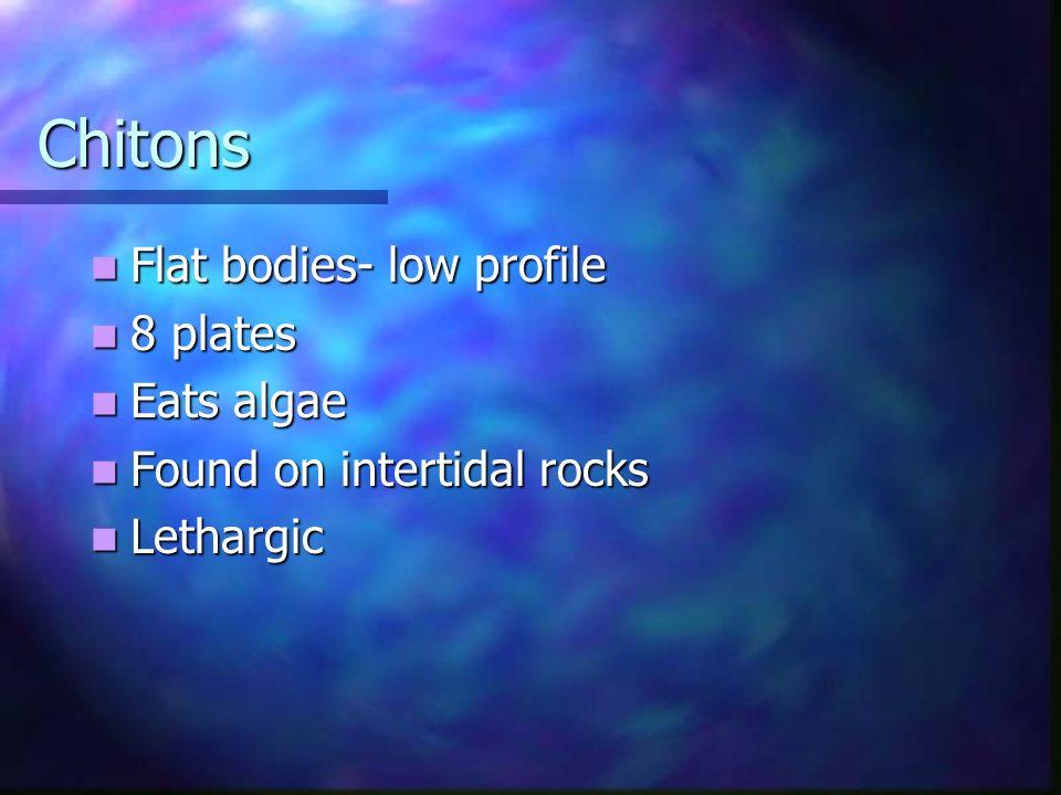 Chitons Flat bodies- low profile 8 plates Eats algae
