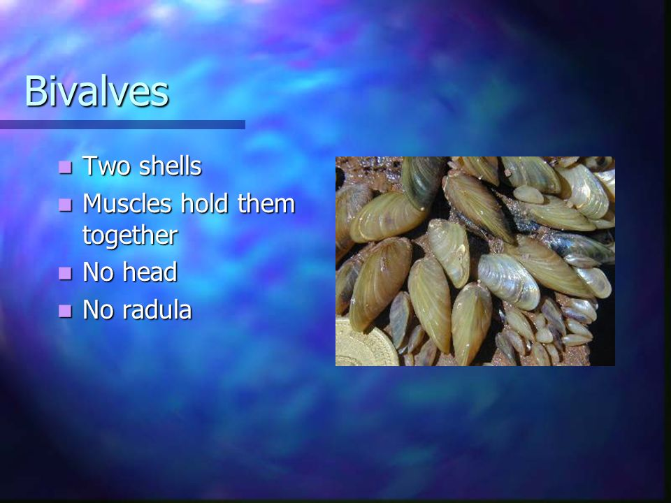 Bivalves Two shells Muscles hold them together No head No radula