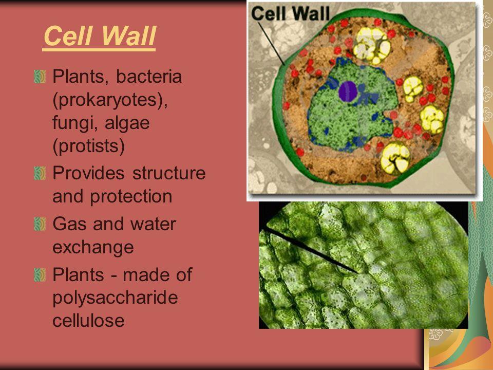 Cell Wall Plants, bacteria (prokaryotes), fungi, algae (protists)