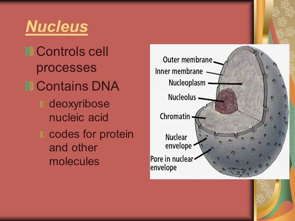 Nucleus Controls cell processes Contains DNA deoxyribose nucleic acid