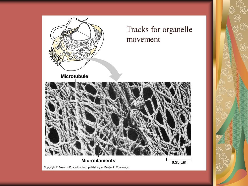 Tracks for organelle movement