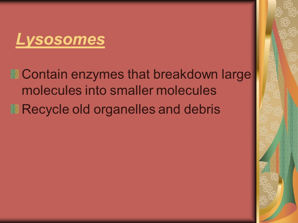Lysosomes Contain enzymes that breakdown large molecules into smaller molecules.