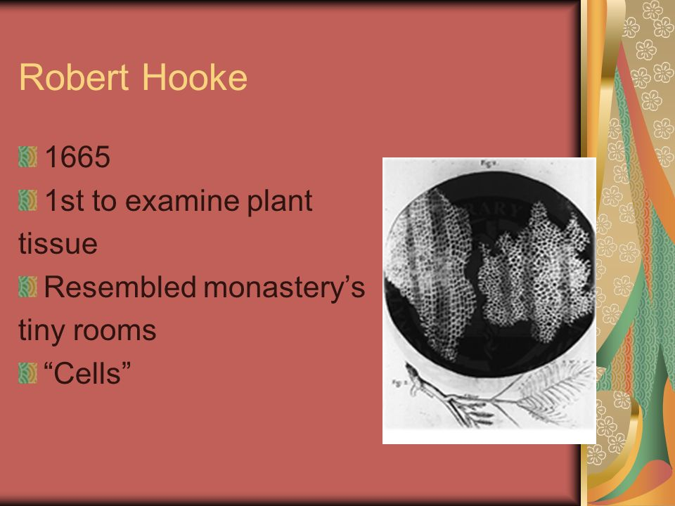 Robert Hooke 1665 1st to examine plant tissue Resembled monastery's