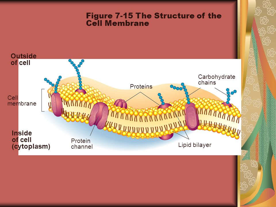 Figure 7-15 The Structure of the Cell Membrane