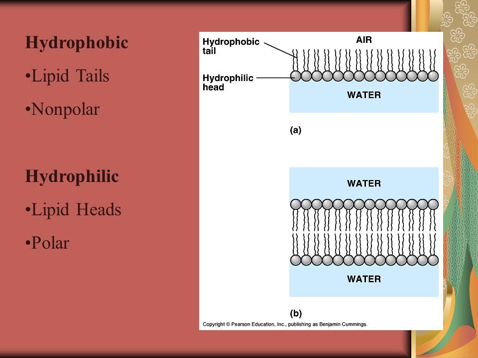 Hydrophobic Lipid Tails Nonpolar Hydrophilic Lipid Heads Polar