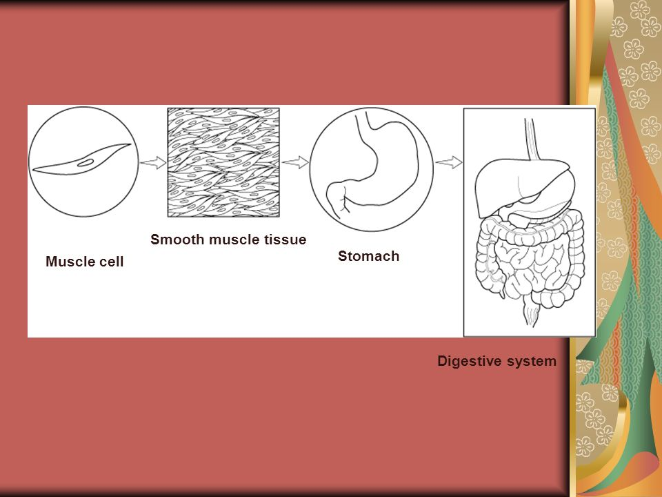 Smooth muscle tissue Stomach Muscle cell Digestive system