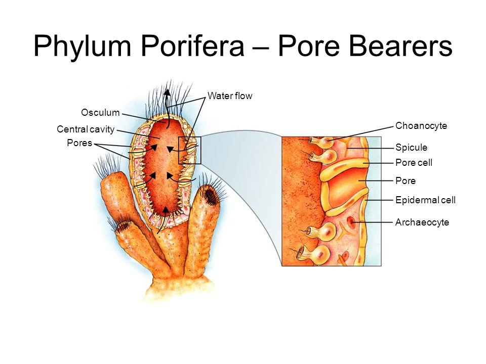 Phylum Porifera – Pore Bearers