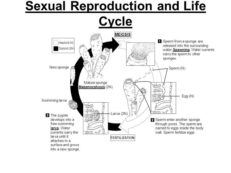 Sexual Reproduction and Life Cycle