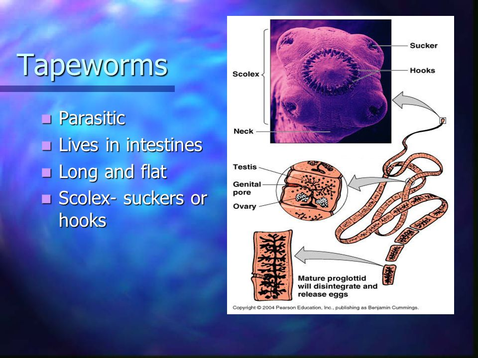 Tapeworms Parasitic Lives in intestines Long and flat