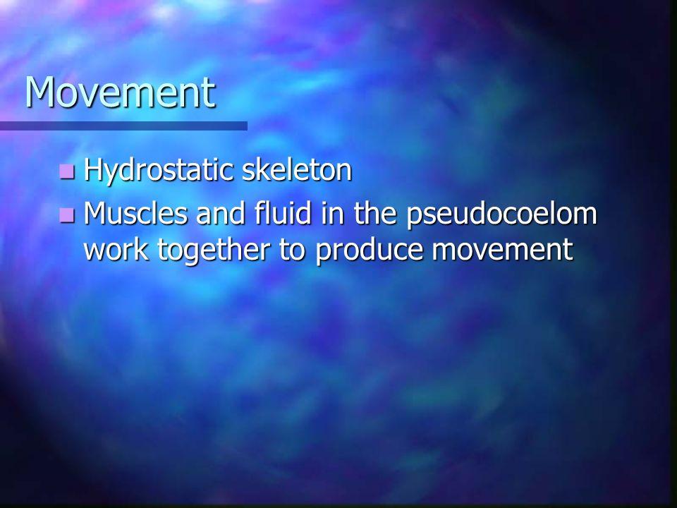 Movement Hydrostatic skeleton