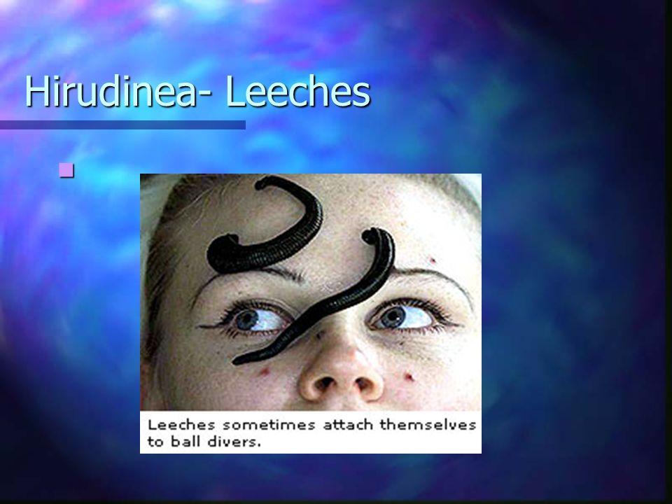 Hirudinea- Leeches
