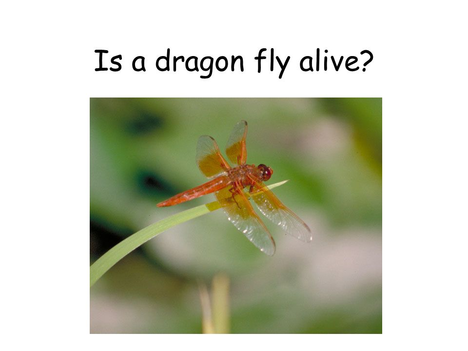 Is a dragon fly alive