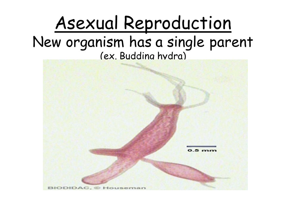 Asexual Reproduction New organism has a single parent (ex