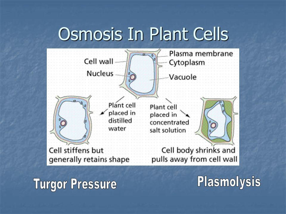 Osmosis In Plant Cells Plasmolysis Turgor Pressure