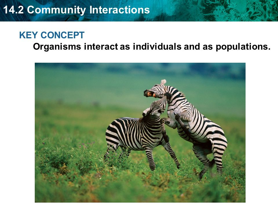 KEY CONCEPT Organisms interact as individuals and as populations.