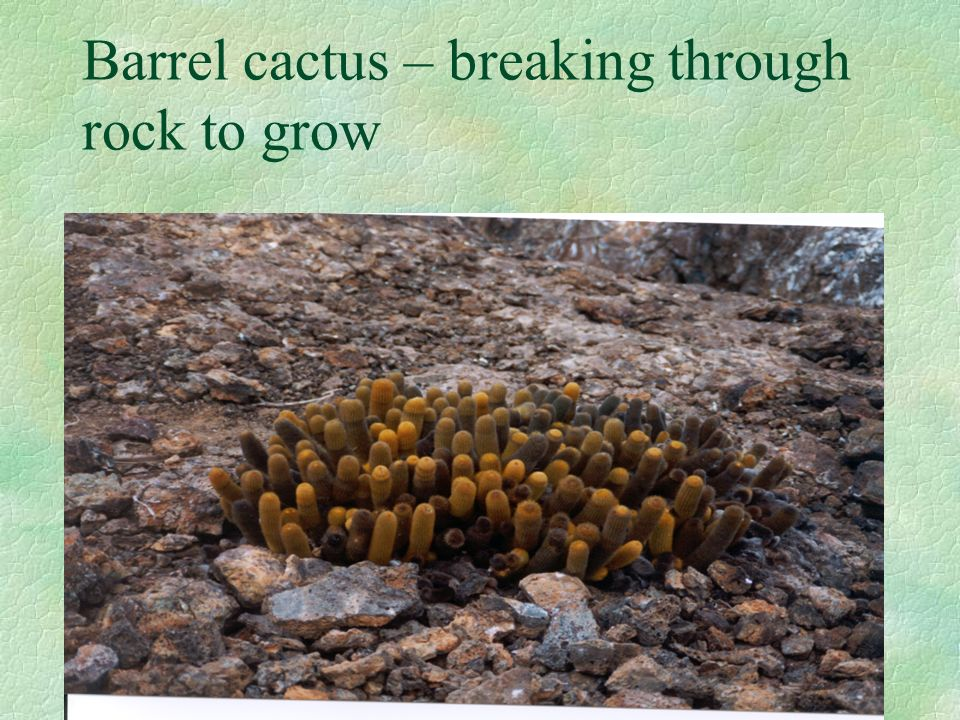Barrel cactus – breaking through rock to grow