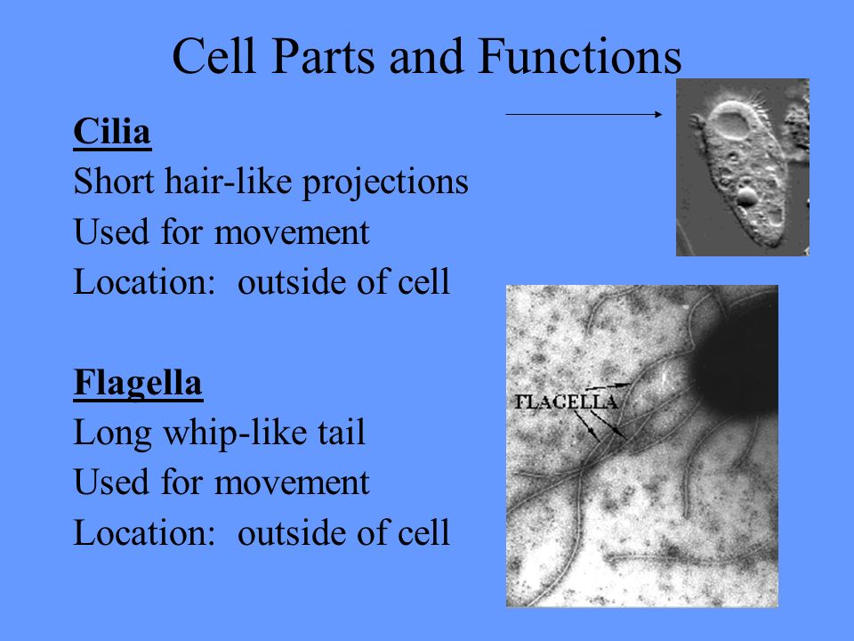 Cell Parts and Functions