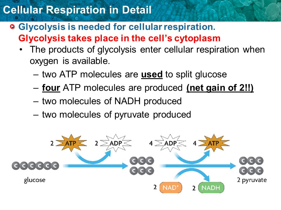 Glycolysis is needed for cellular respiration