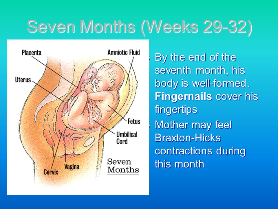 Seven Months (Weeks 29-32) By the end of the seventh month, his body is well-formed. Fingernails cover his fingertips.