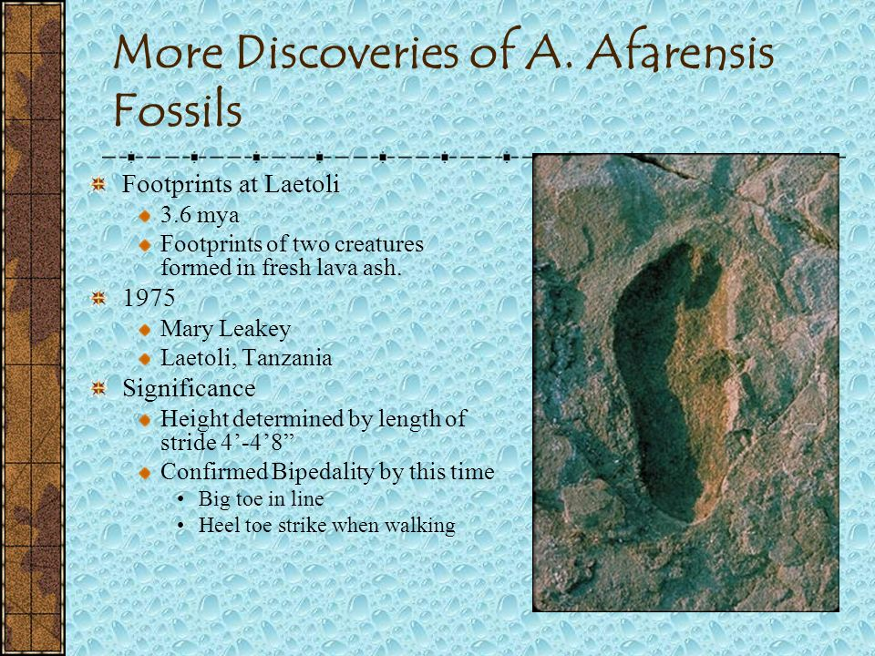 More Discoveries of A. Afarensis Fossils
