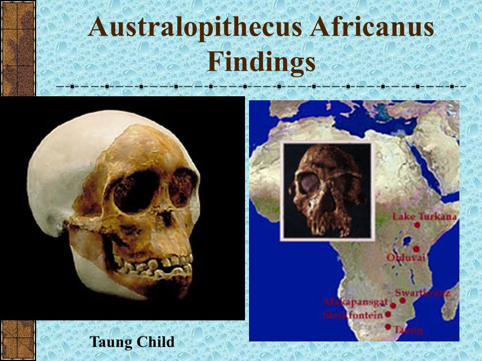 Australopithecus Africanus Findings