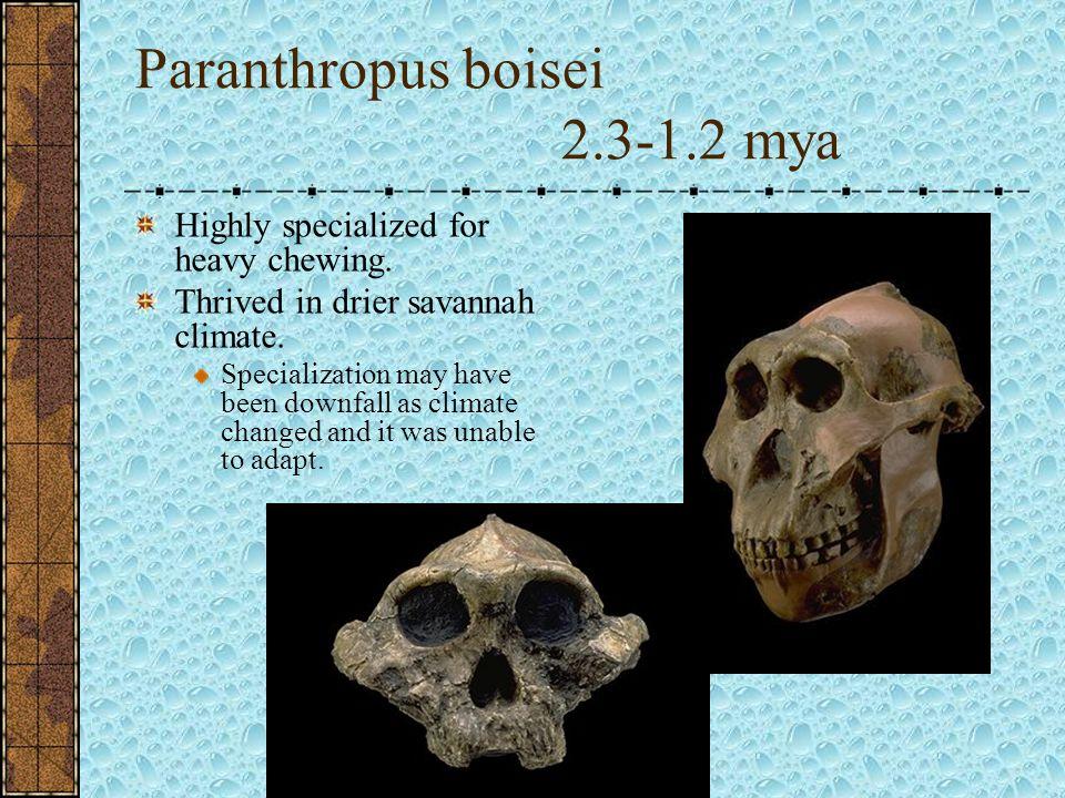 Paranthropus boisei 2.3-1.2 mya