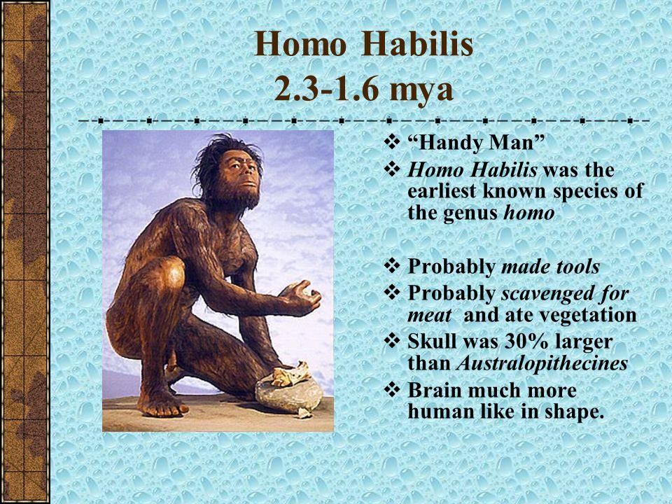 Homo Habilis 2.3-1.6 mya Handy Man
