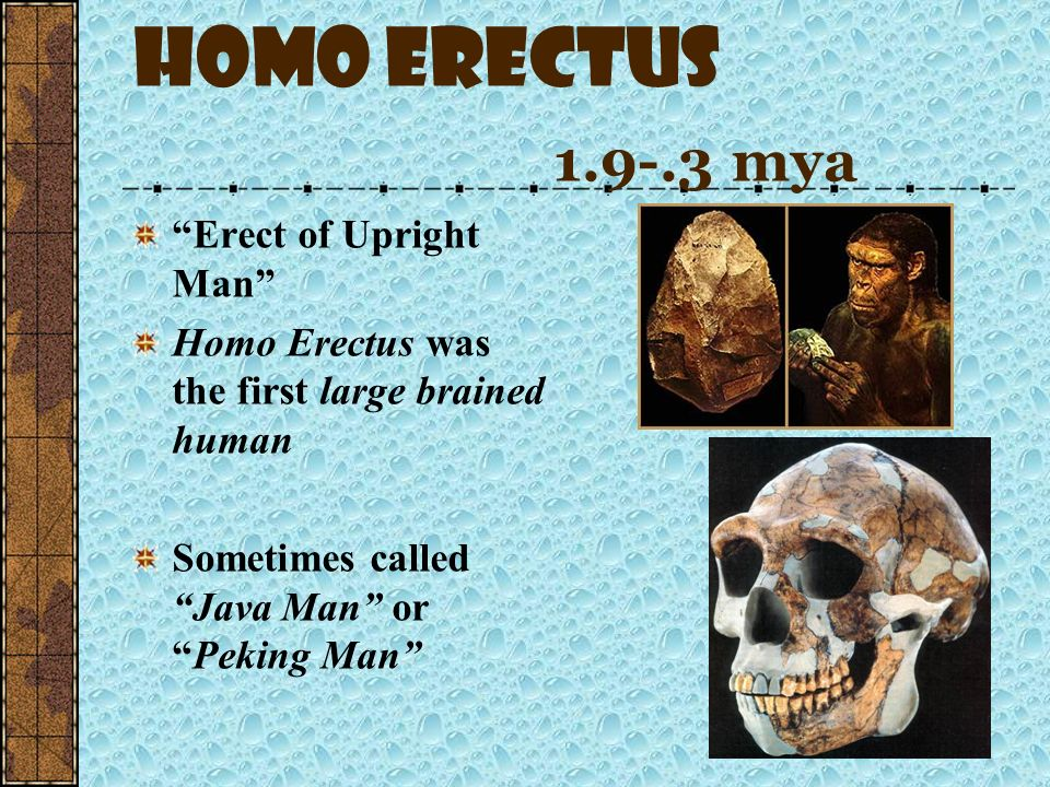 Homo Erectus 1.9-.3 mya Erect of Upright Man
