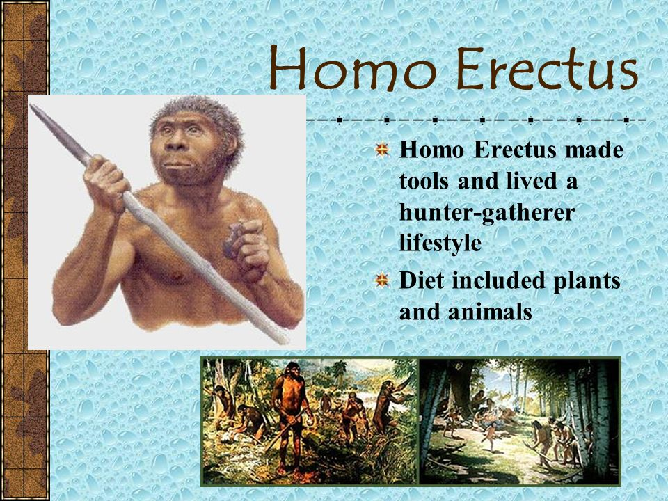 Homo Erectus Homo Erectus made tools and lived a hunter-gatherer lifestyle.